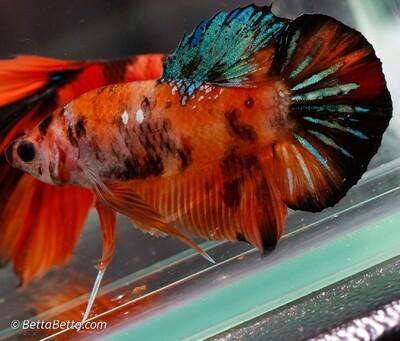 HMPK Nemo Candy Koi Blue, Orange, Black Plakat