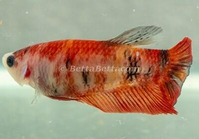 Female Half Moon Koi Red Orange Nemo Candy Koi Betta Y17