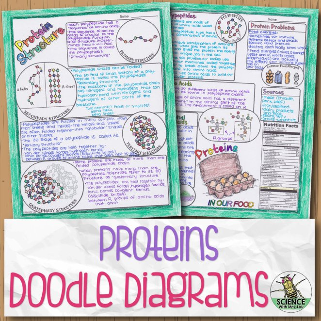 Proteins Doodle Diagram Notes