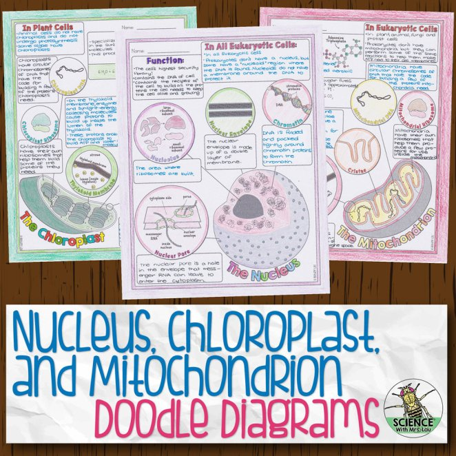Nucleus, Chloroplast, and Mitochondrion Doodle Diagram Notes