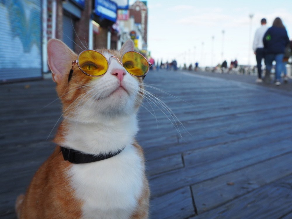 Sunglasses For Your Cat