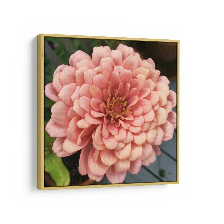 Pink Zinnia Photo   Canvas Print