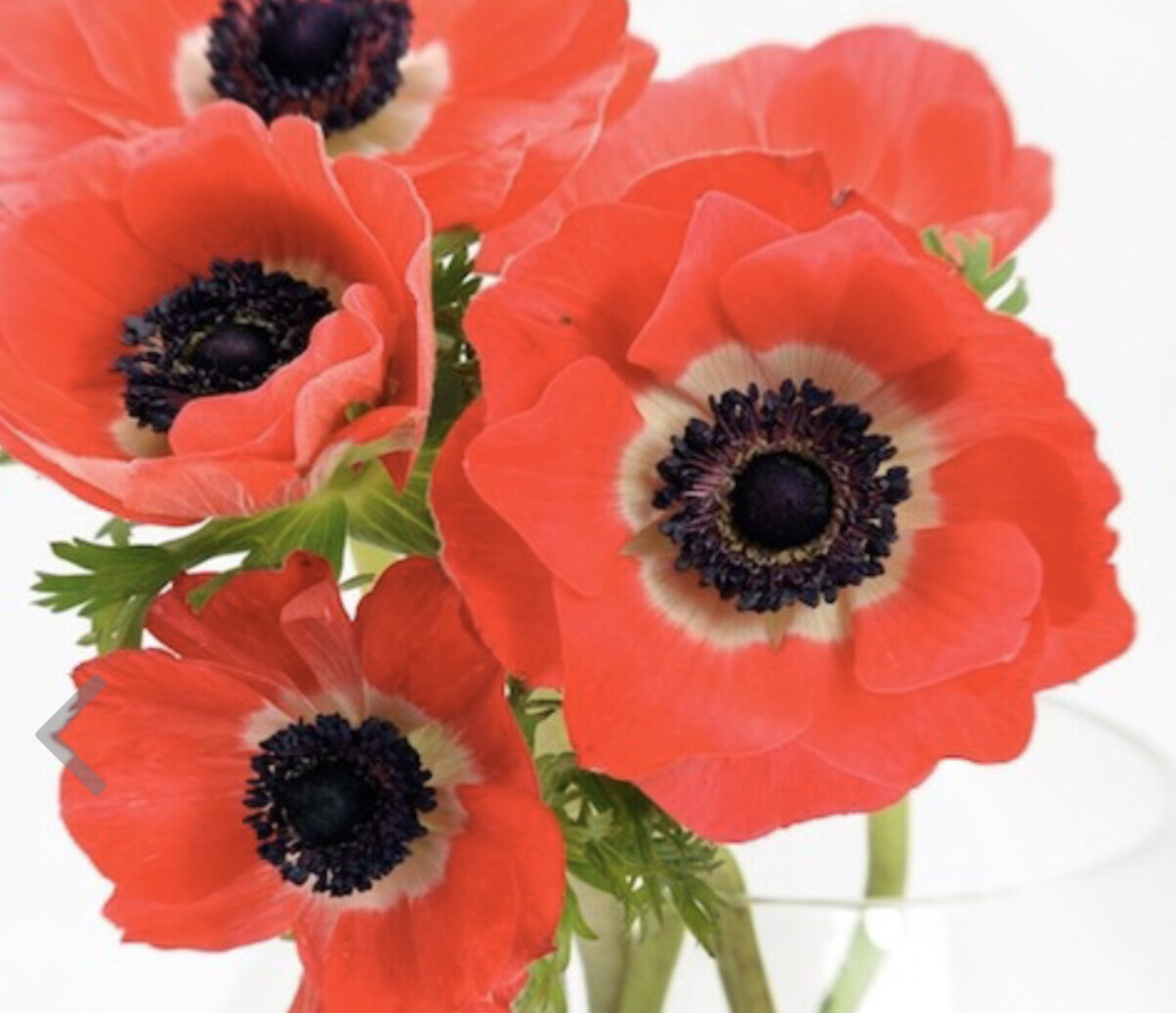 Anemones For Cut Flower Production-Red