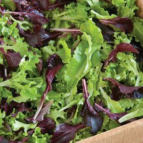 Multi-Color Lettuce Vegetable Plant 4-pack