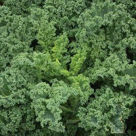Kale Vegetable Plant 4