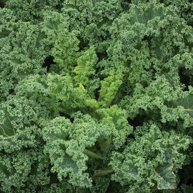 Kale Vegetable Plant