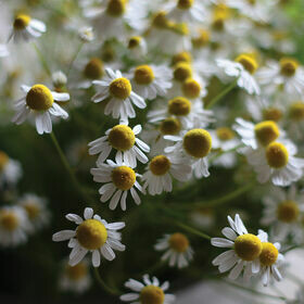 Chamomile Herb Plant 4