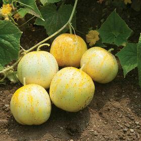 Lemon Cucumber Plant 4