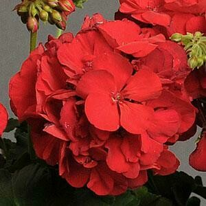 Red Zonal Geranium for SUN (color bowl)