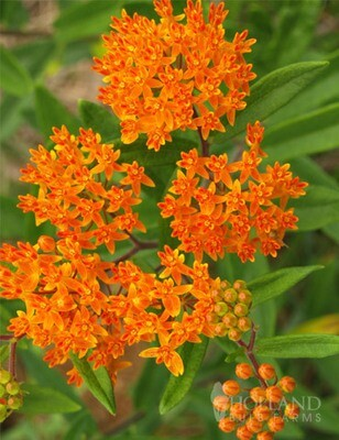 Butterfly Weed (Asclepias)-gallon