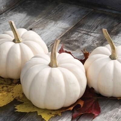 Pumpkin mini white