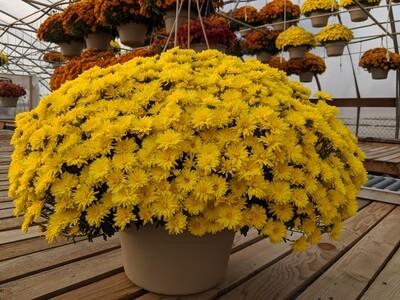 Mums Large Yellow 12