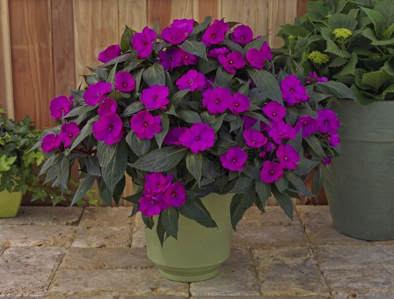 SunPatiens® Purple  (color bowl)