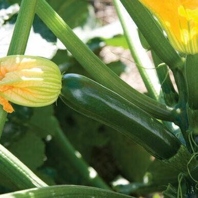 Zucchini Vegetable Plant 4