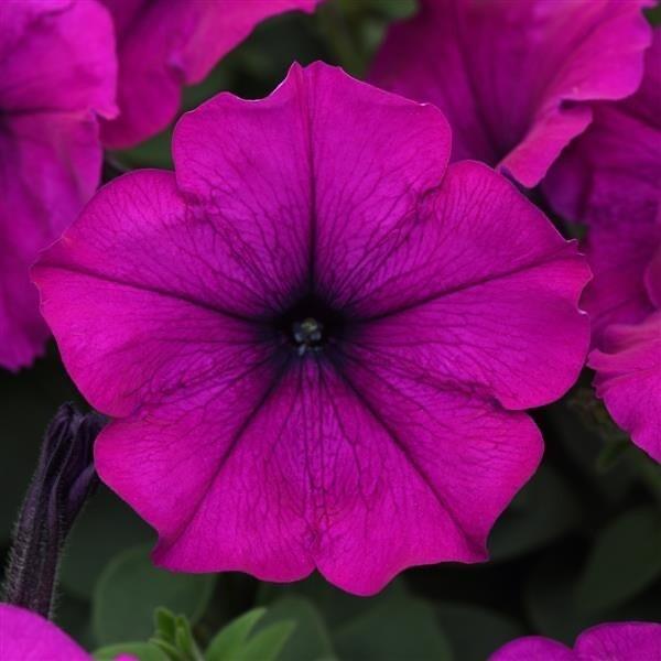 Petunia Easy Wave Violet -gallon size