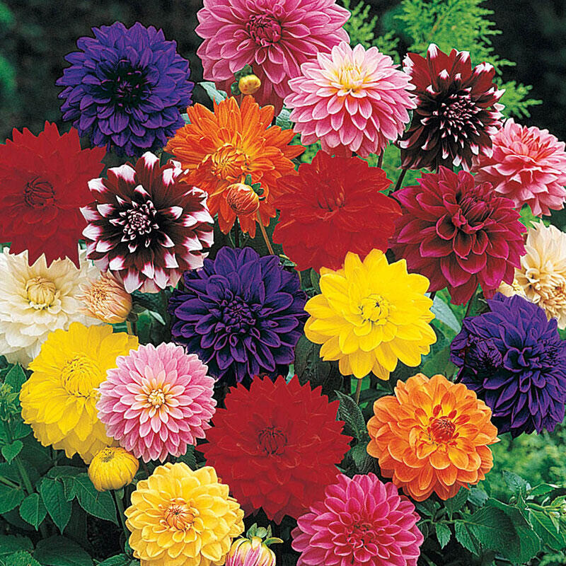 More Dahlia varieties ready after May 15! Please check back soon.
