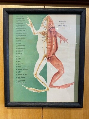 Vintage Book Page of Anatomy of a Grass Frog