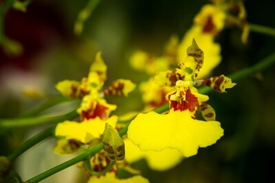 Yellow Oncidium (whole)