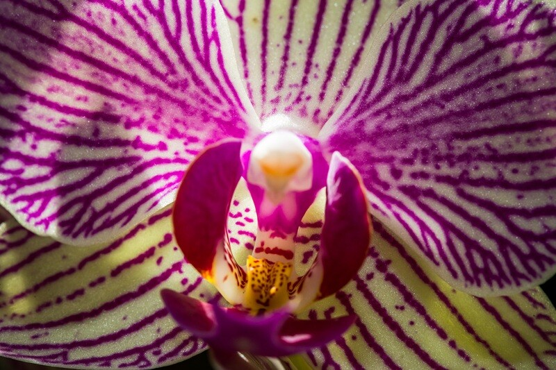 Phalaenopsis (close-up)