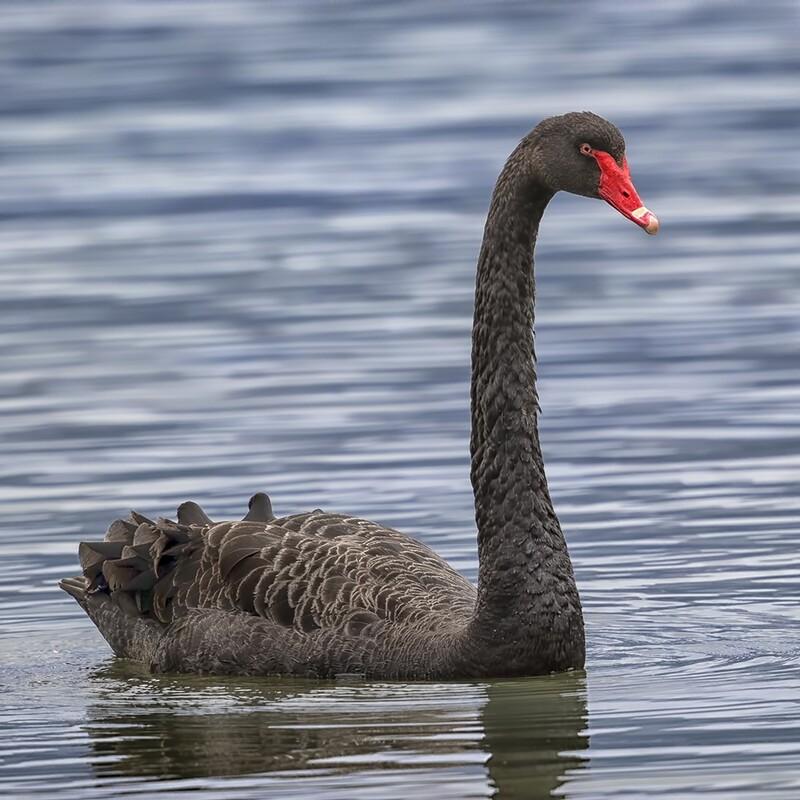 Black Swan 9694