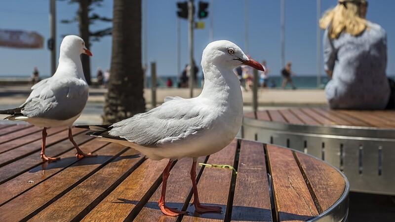 Silver Gull, Manly Beach Australia 0771