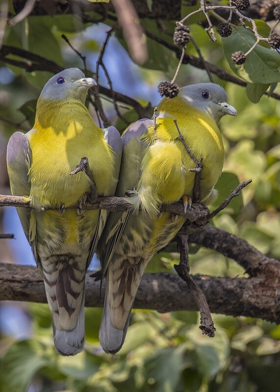 Yellow-footed Green Pigeons 2370