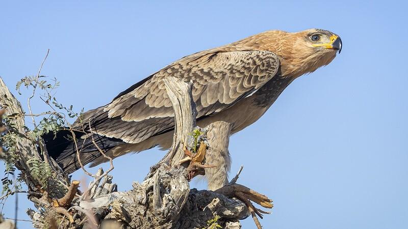 Tawny Eagle 0531