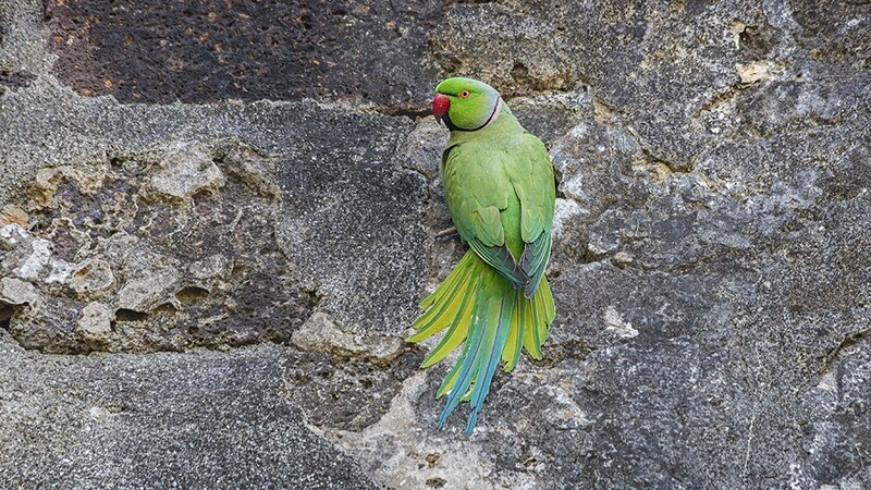 Rose-ringed Parakeet 8647