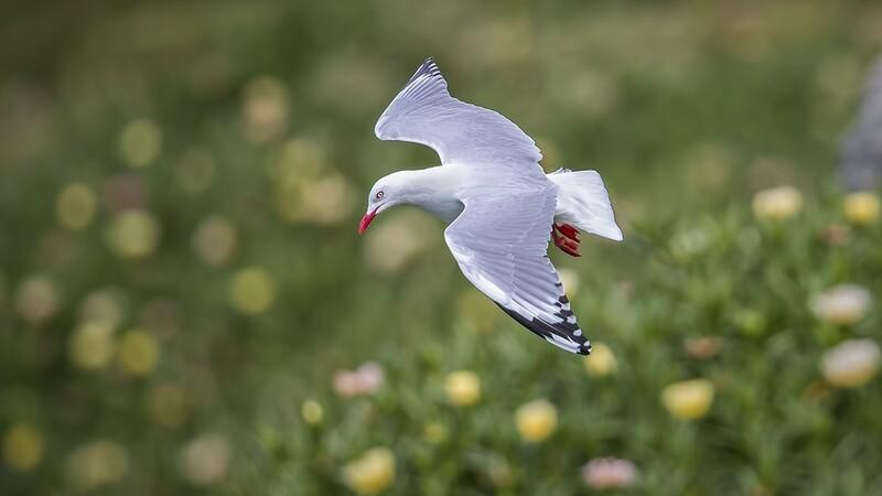 Red-billed Gull 3393