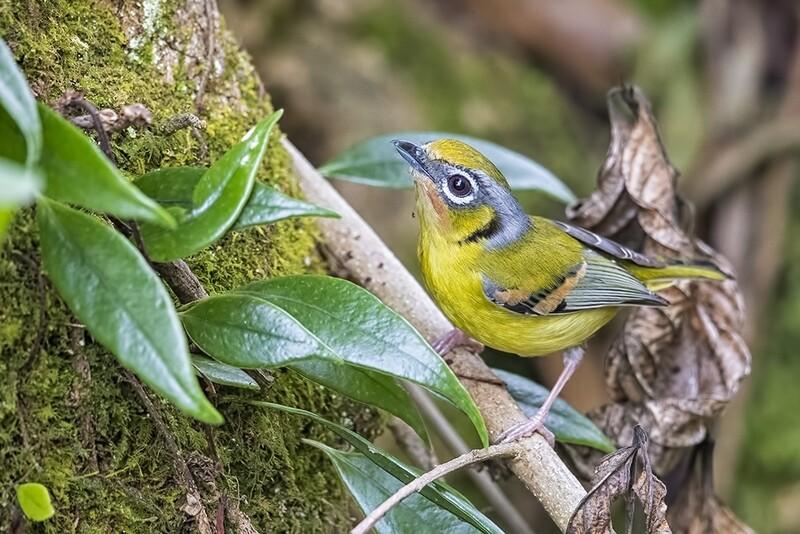 Black-eared Shrike-babbler 4391