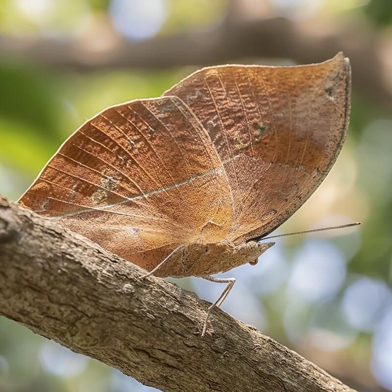 Blue oakleaf butterfly 1232