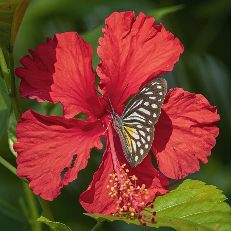 Common wanderer butterfly (philomela form) 5179