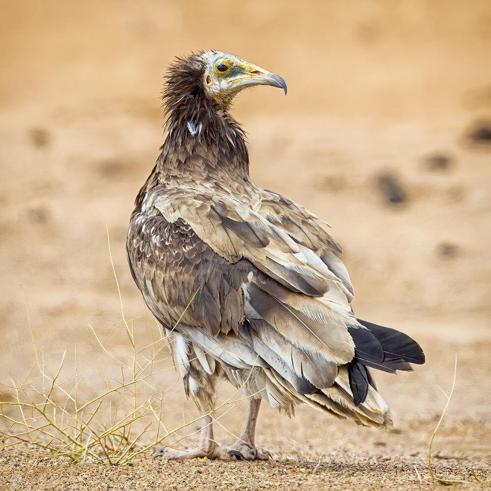 Egyptian vulture 7573