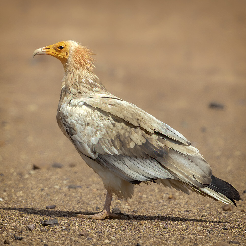 Egyptian vulture 7498