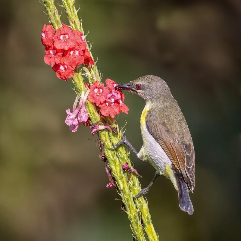 Purple rumped sunbird 4885