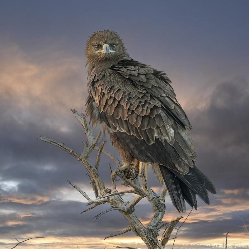 Tawny eagle 8141