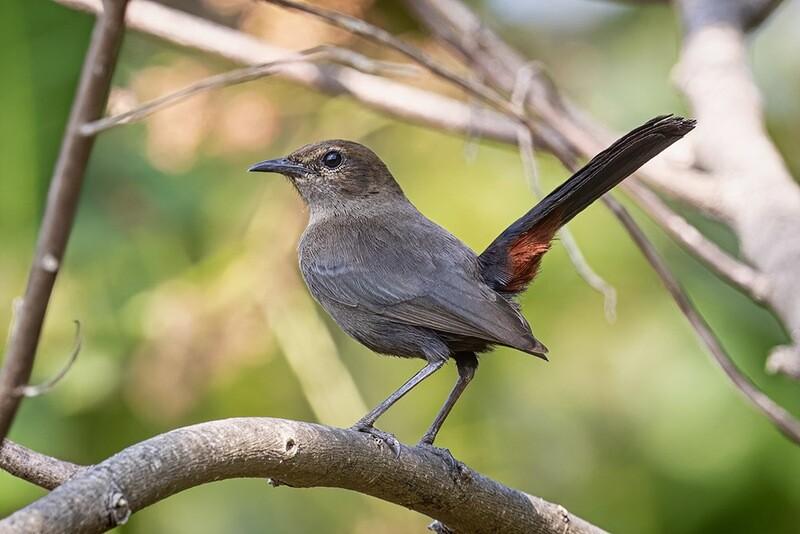Indian Robin (female) 7708