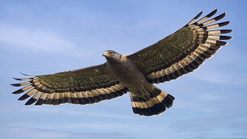 Crested Serpent Eagle 7782