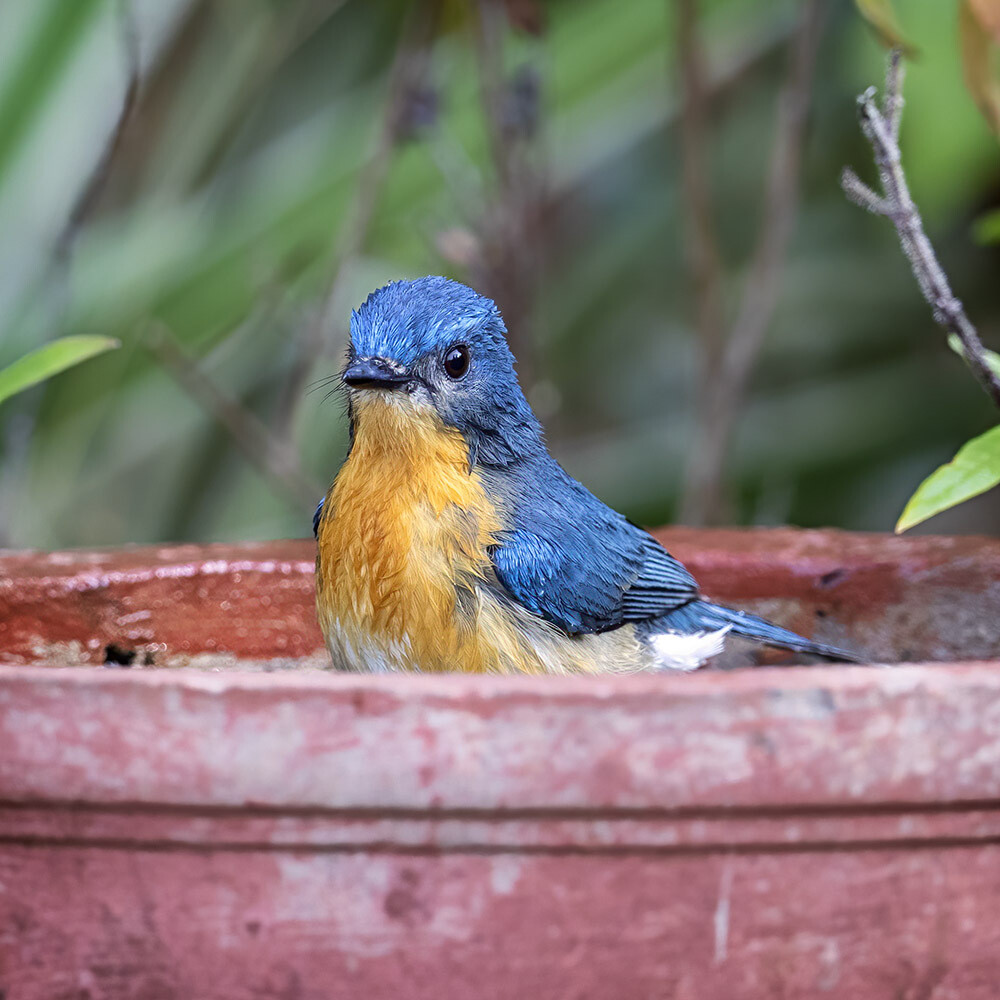 Tickell's Blue Flycatcher 8158