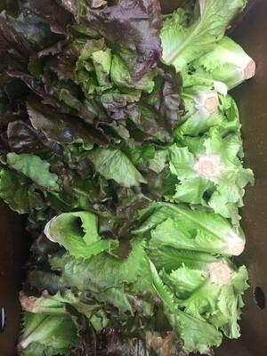 *Atlas Farm Head Lettuce (Green or Red leaf)