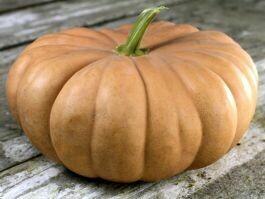SGF Long Island Cheese Pumpkin Large