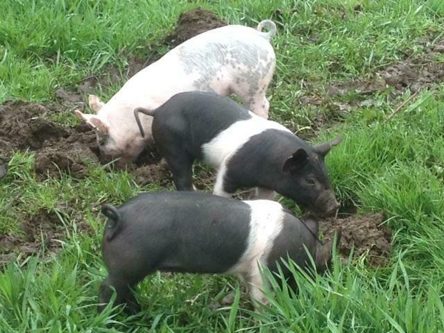 SGF Pork Kidney