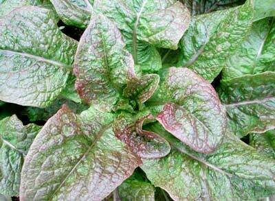 Ox And Robin Seeds- Cracoviensis Lettuce