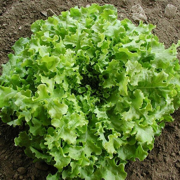 High Mowing SEEDS Salad Bowl Lettuce