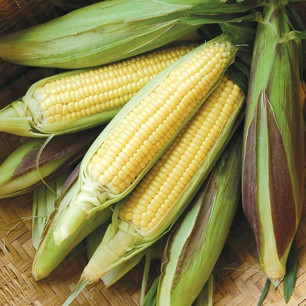 High Mowing SEEDS Fisher's Earliest Sweet Corn