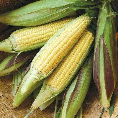 High Mowing SEEDS Fisher's Earliest Sweet Corn