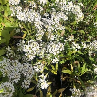 SGF Plant Starts - Alysum Flowers 6 Pk