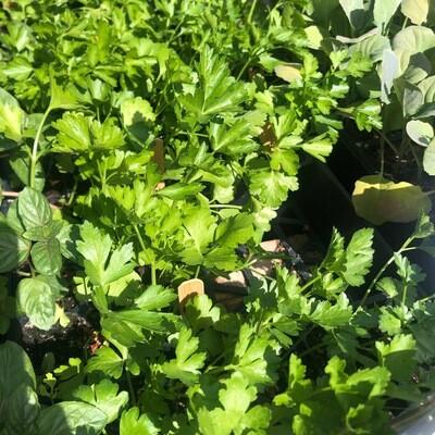 SGF Plant Starts - Parsley Flat Leaf 6 Pk