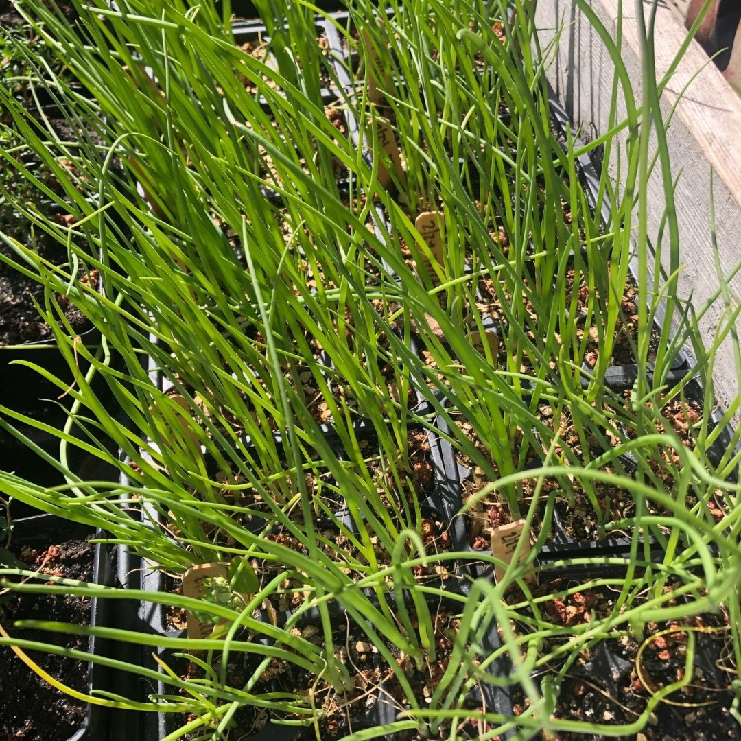 SGF Plant Starts - Yellow Onions 6 Pk