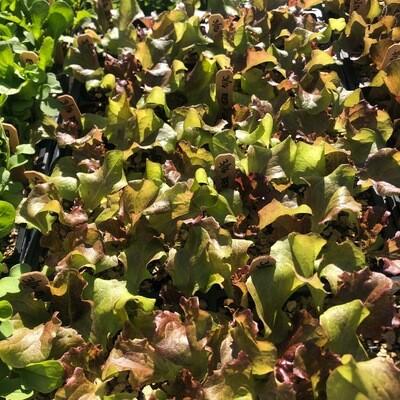 SGF Plant Starts - Red Leaf Lettuce 6 Pk